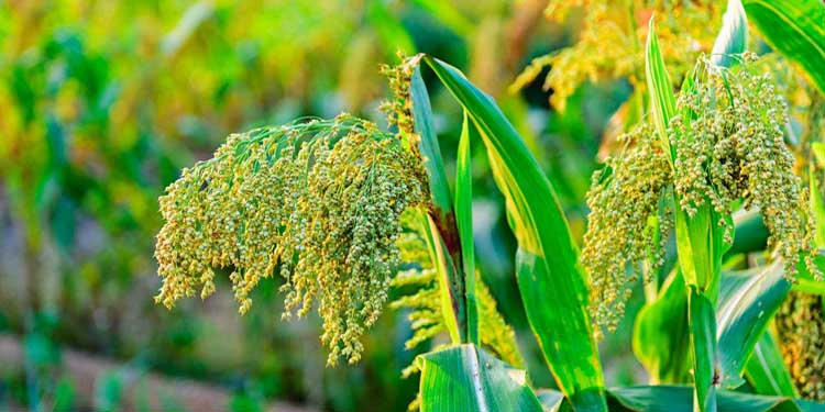 Grain Sorghum