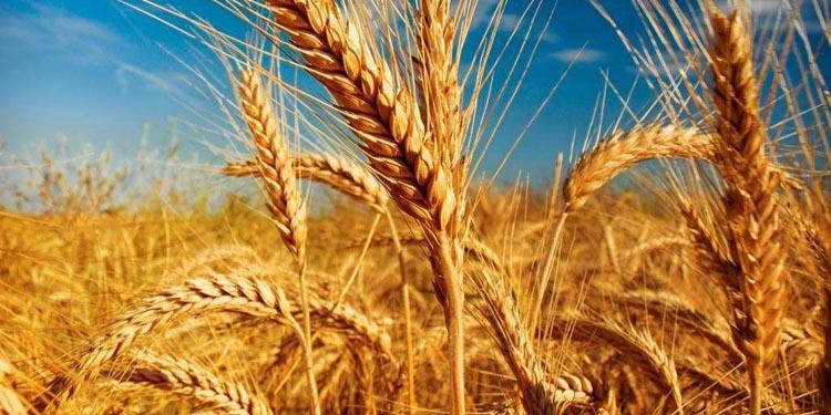 Kazakhstan Barley Plants