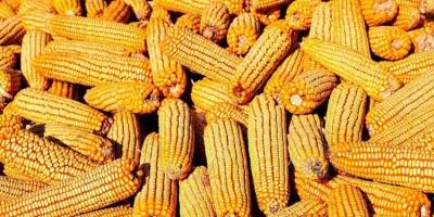 Kazakhstan Corn