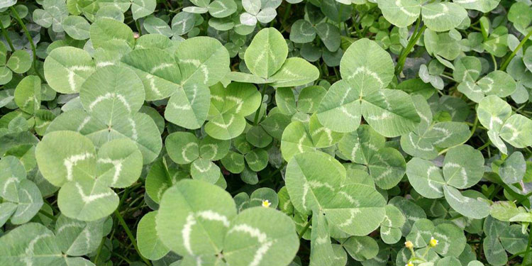 South African alfalfa
