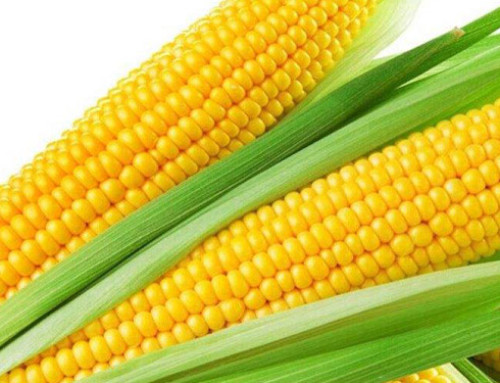 Corn embryos deep processing investment project