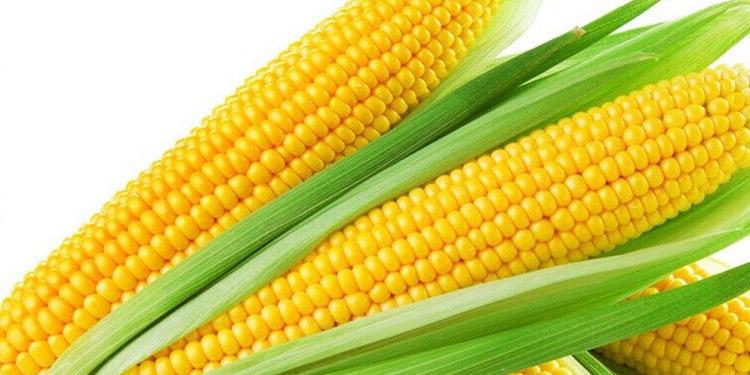 Corn embryos